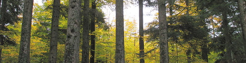 Panoramic_of_trees_in_a_forest